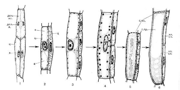 Процесс дифференциации клетки: