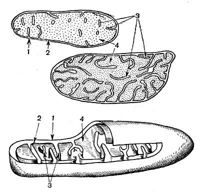 Пластиды: а - хлоропласты в клетках листа элодеи, видимые в световом микроскопе; б - схема внутреннего...