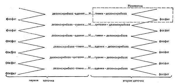 Схема строения фрагмента