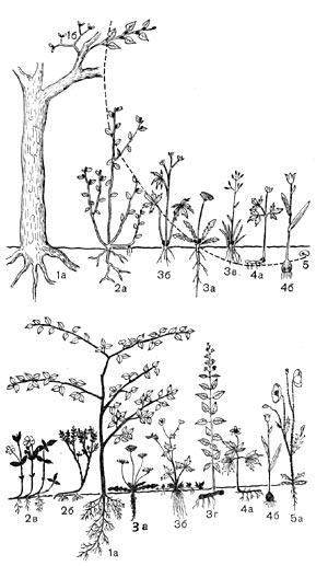 Жизненные формы по Раункиеру (схема): 1 - фанерофиты.  За - одуванчик, 36 - лютик, Зв - кустовой злак.