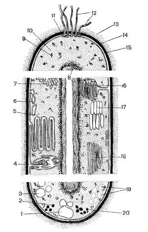 бактериальной клетки (по