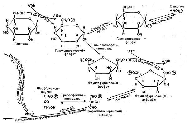 Рис. 11.  Схема гликолитического пути расщепления углеводов.