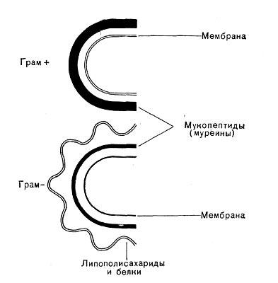 Схема строения клеточных