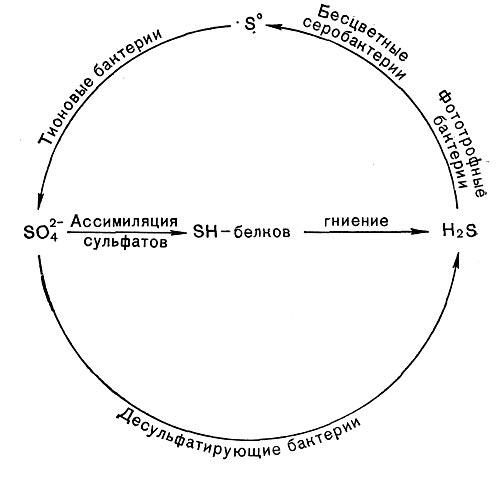 Схема круговорота серы.