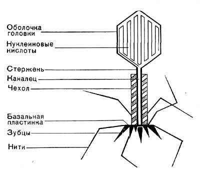 Иллюстрация 17: Схема строения фаговой частицы.  Все известные фаги второго морфологического типа РНК-овые.