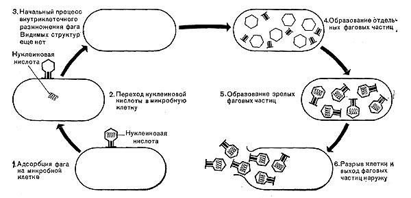 Схема размножения фага.
