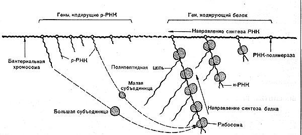 Рис. 13 Б. Схема синтеза белка